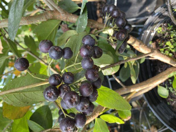 Aronia melanocarpa 'Viking' (Black Chokeberry)