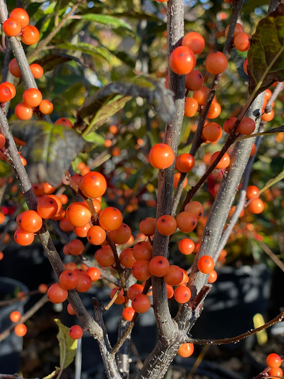 Ilex verticillata (Winterberry Holly)